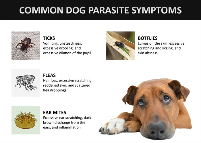 dog parasites symptoms